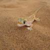 Namibgecko